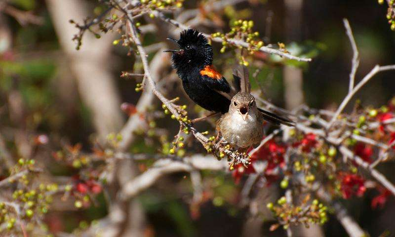 Singing duet may help this bird couple to stay together